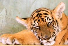 Lion cub sleeping Royalty Free Stock Photos