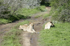 Lion cub, South Africa Royalty Free Stock Photo
