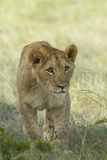 Lion cub stalking. Lion cub playfully stalking its sibling Royalty Free Stock Photo