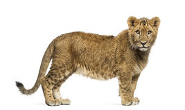 Lion cub standing and looking at the camera Royalty Free Stock Photography