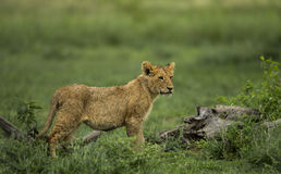 Lion cub standing, Serengeti Stock Photos
