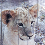 A Lion Cub Stares Out from its Zoo Enclosure Royalty Free Stock Photos