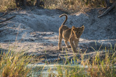 Lion cub staring ahead by water hole Royalty Free Stock Photography