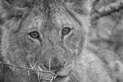 Lion cub starring in black and white. Starring Lion cub in black and white in the Kruger National Park, South Africa royalty free stock photos