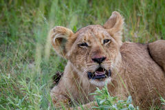Lion cub starring at the camera. Royalty Free Stock Photography