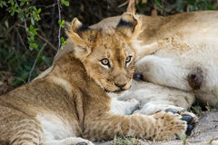 Lion cub takes a break from nursing Stock Photos