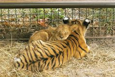 Lion cub and tiger cub, small children of large cats, relax together stock images