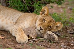 Lion cub and tortoise Stock Photos