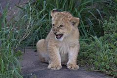 Lion Cub, tough and hiding in grass on the Serengeti royalty free stock images