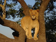 Lion cub in a tree Royalty Free Stock Photo