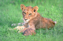 Lion cub with turtle Royalty Free Stock Images