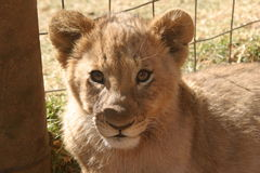 Lion cub. We visit a ranch near Betlehem in the Free State. There was a few cubs and we have the oppertunity to play with them Stock Images