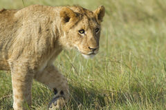 Lion cub walking Royalty Free Stock Photography