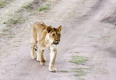 A lion cub walking Stock Photo