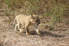 Lion cub walking Royalty Free Stock Images