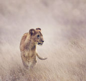 Lion Cub. Walking on grass stock image