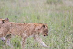 Lion cub walking in the grass Stock Photography