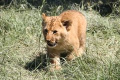 Lion cub walking on grass Royalty Free Stock Image