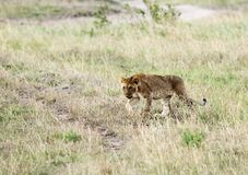 A lion cub walking in the Grassland Royalty Free Stock Image