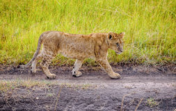 Lion Cub walking in Masai Mara reserve, Kenya Stock Photo