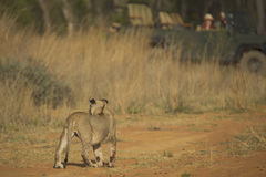 Lion Cub Walking op Dusty Path met Safari Vehicle op Achtergrond Stock Afbeelding