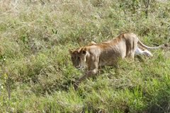 A lion cub walking in the Savanna grassland Royalty Free Stock Images