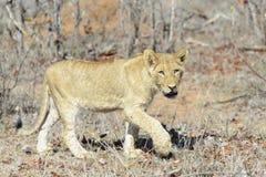 Lion cub walking between shrubs Stock Photo