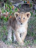 Lion cub walking. Single lion cub Panthera leo walking through brush at Maasai Mara National Park Royalty Free Stock Image