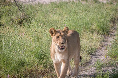 A Lion cub walking towards the camera. Royalty Free Stock Photography