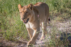 A Lion cub walking towards the camera. Stock Photos