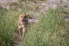 A Lion cub walking towards the camera. Royalty Free Stock Image