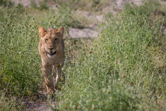 A Lion cub walking towards the camera. Royalty Free Stock Photos