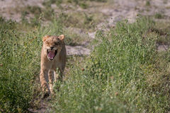 A Lion cub walking towards the camera. Stock Photography