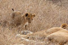 Lion cub walking towards mother in grasslands on the Masai Mara, Kenya Africa royalty free stock images