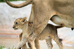 Lion cub walking under mother Royalty Free Stock Photo
