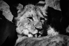 A lion cub washing up in black and white. A beautiful lion cub having a wash in black and white royalty free stock image