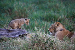 Lion cub watches mum Royalty Free Stock Photos
