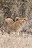 Lion cub watching in grasslands on the Masai Mara, Kenya Africa royalty free stock photo