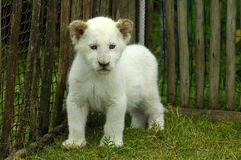 Lion cub white Stock Images
