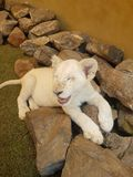 Lion cub. White lion cub so happy Royalty Free Stock Photography
