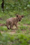 Lion cub in the wild, Africa  safari Royalty Free Stock Photo