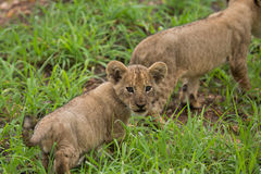 Lion cub in the wild, Africa  safari Stock Photo