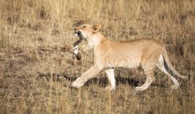 Lion cub with wildebeest horns stock image