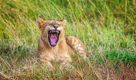 Lion cub yawn in the grass in Kenya, Africa Stock Images