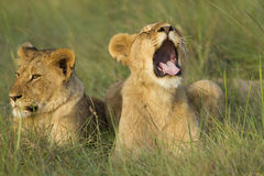 Lion cub yawning Royalty Free Stock Images