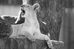 Lion cub yawning Royalty Free Stock Photos