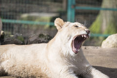 Lion cub yawning. In zoo Royalty Free Stock Image