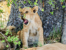 Lion cub yawning Stock Images