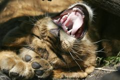 Lion cub yawning. A lion cub laying down on his back and yawning stock images