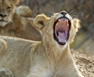 Lion cub yawning. Picture was taken in Kruger National park, South Africa Stock Image
